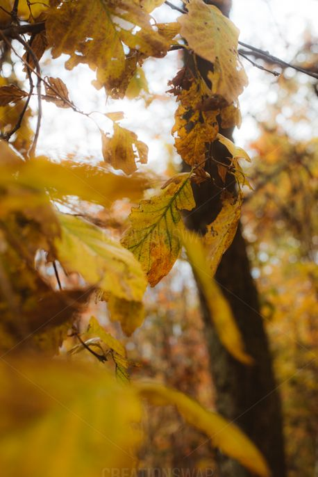 Yellow Leaves (60204)