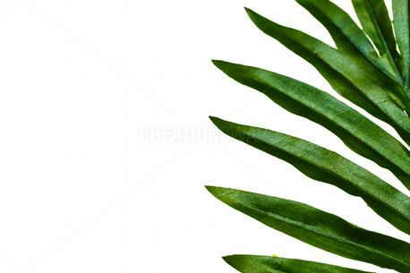 Palm fronds (63724)