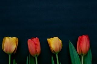 Sprint Tulip Flowers on black