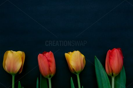 Sprint Tulip Flowers on black (64886)