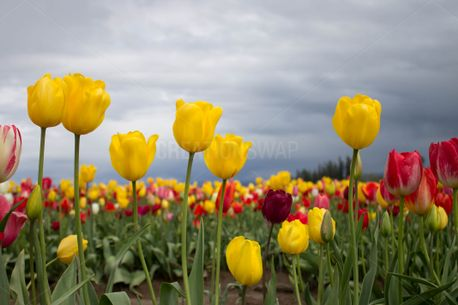 Yellow Tulip Flowers  (66369)