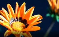 Orange Flower Opening