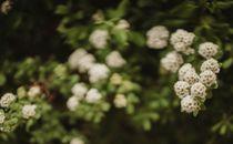 White flowers blooming on bush