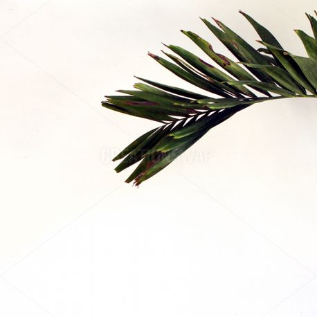 Palm On White (68661)