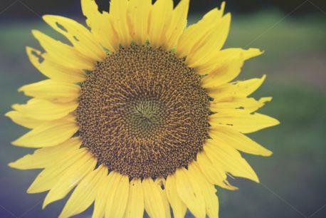 Summer Sunflower (69084)