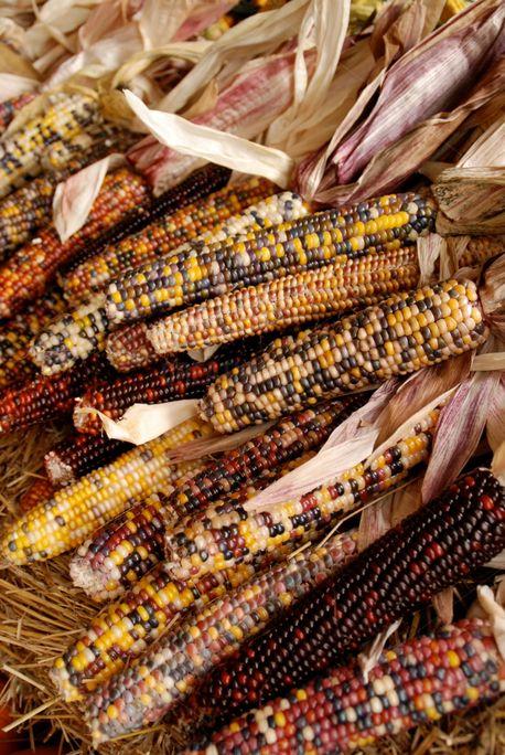 Harvest Corn (70498)