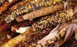 Harvest Corn (70564)