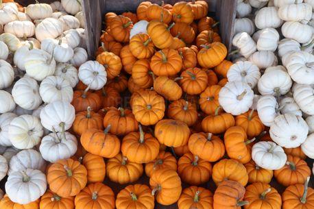 Small Pumpkins (72014)