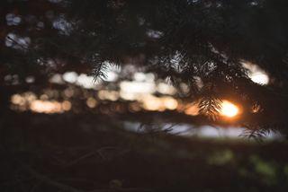 Sunlight through a blue spruce
