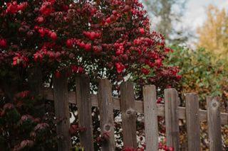 Fall bush beside fence