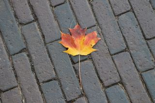 A single maple leaf