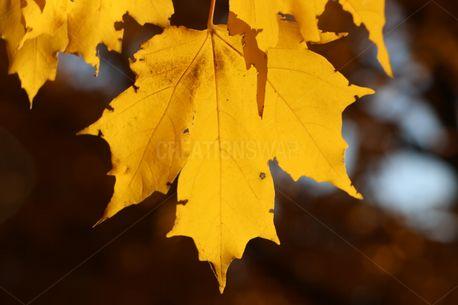 Single Maple Leaf (73728)