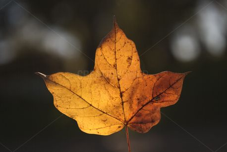 Lighted yellow leaf (73753)