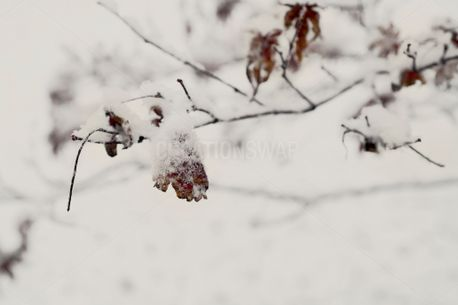 Snowy Leaves (73970)