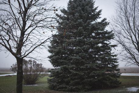 Snowy blue spruce (74088)