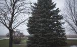 Snowy blue spruce (74123)