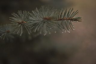 Raindrops on blue spruce