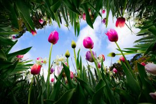 Tulips reach to the sky