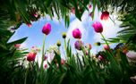 Tulips reach to the sky (78156)