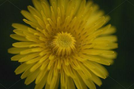 Dandelion (78908)