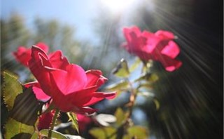 Rays of Roses
