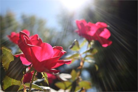 Rays of Roses (8967)