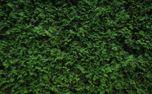 wall of juniper (81579)