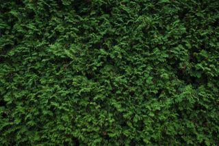wall of juniper