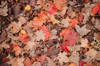Brown leaves on a forest floor
