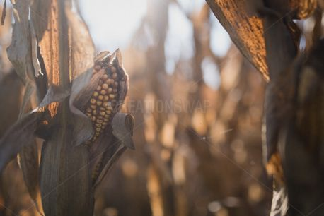 Ear of corn (83469)