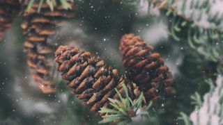 Evergreen Cones And Branches