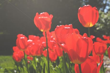 Red Tulips (85512)