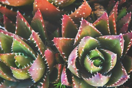 Spiked Succulent Plant (85515)