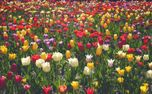 Field Of Tulips (85534)