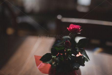 Rose (86194)