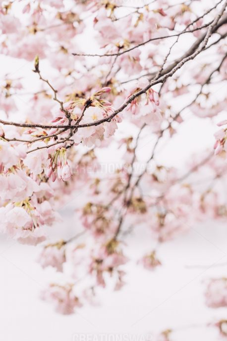 Cherry Blossom Branches (86889)
