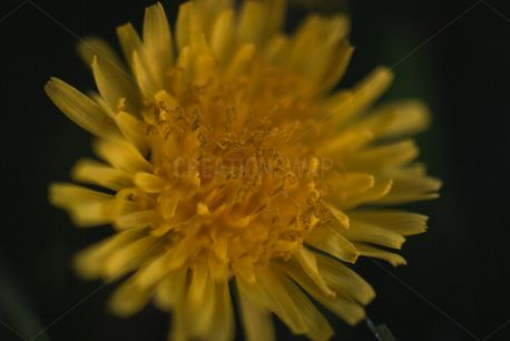 Dandelion up close (87596)
