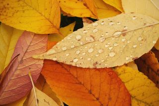 Fall Leaves and Dew