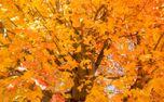 Maple tree in fall (91309)