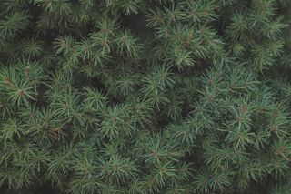 Pine Needle Background
