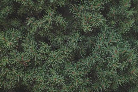 Pine Needle Background (91497)