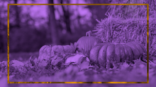 Purple Pumpkin Background