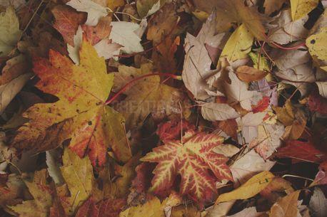 Fall Leaves (92333)