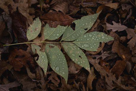 Raindrops on green leaves (94018)