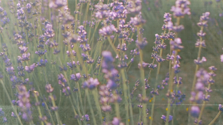 Lavender Background Loop