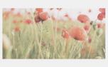 Poppy Background (97567)