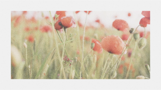 Poppy Background