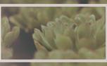 Succulents Loop (97772)