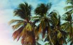 Summer Palms Background Loop (99102)