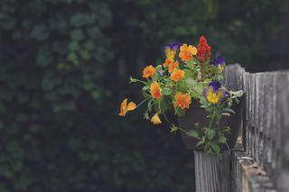 Pansies on Fence